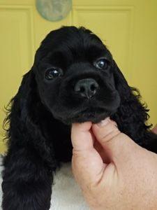 cachorro cocker negro
